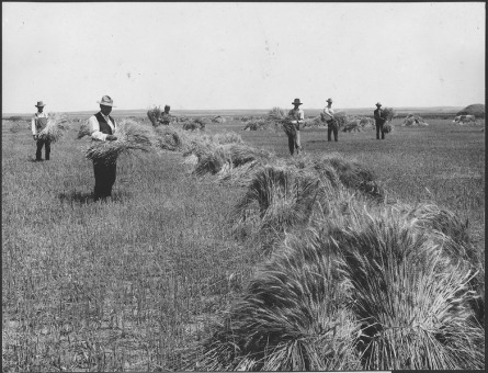 Wheat_field_on_Dutch_flats_near_Mitchell,_Nebr._Farm_of_T.C._Shawver_-_NARA_-_294480.tif